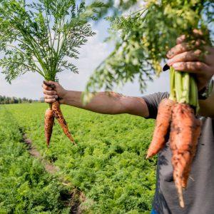 Producteur de carottes locales et légumes locaux