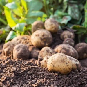 producteur de pommes de terre locales et légumes