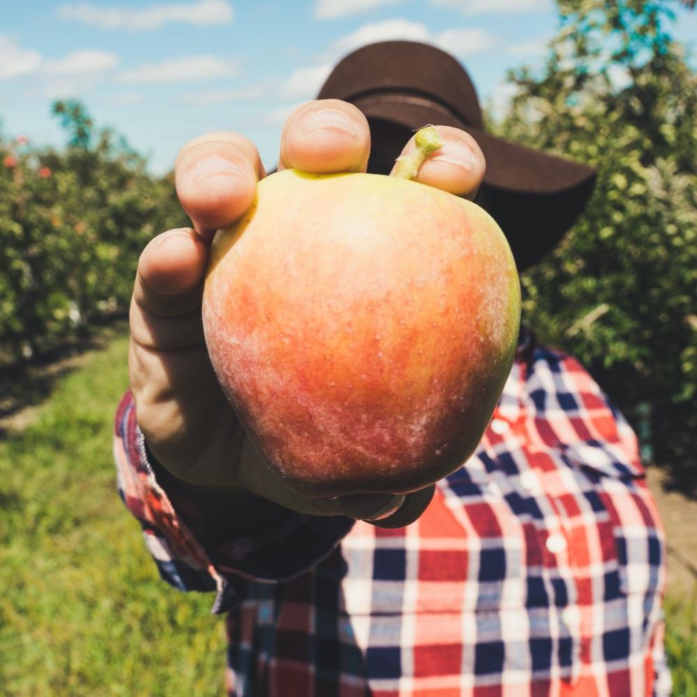 Producteur de pommes montre pomme bio et locale