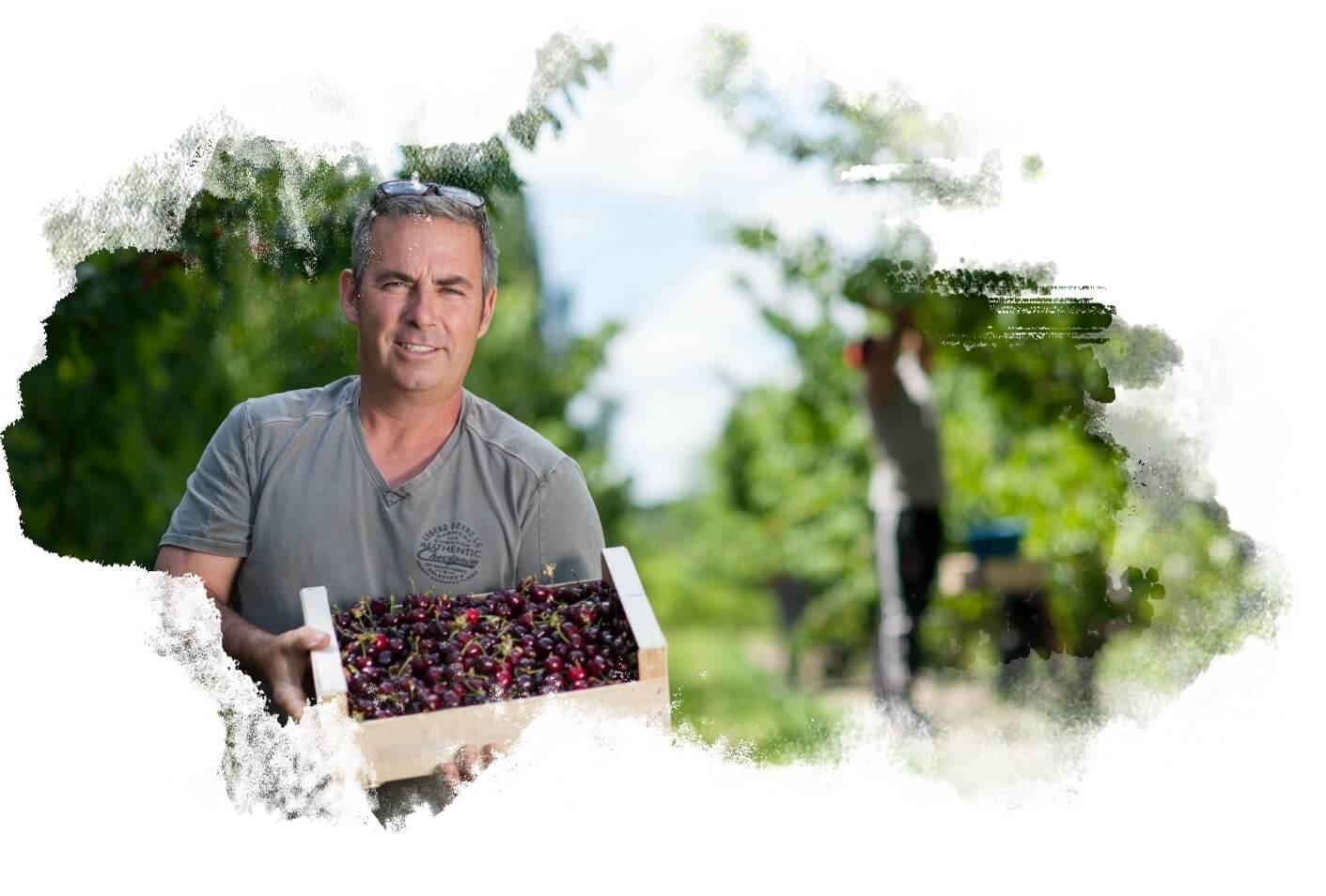 Producteur de cerises locales et bio